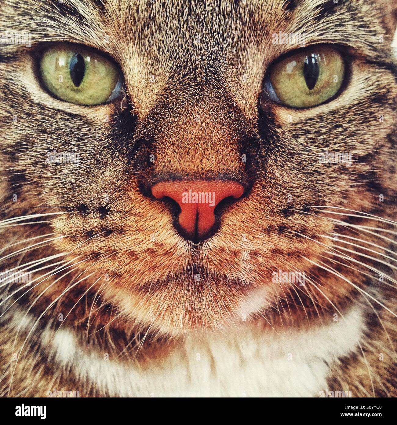 Pet tabby cat portrait. - Stock Image