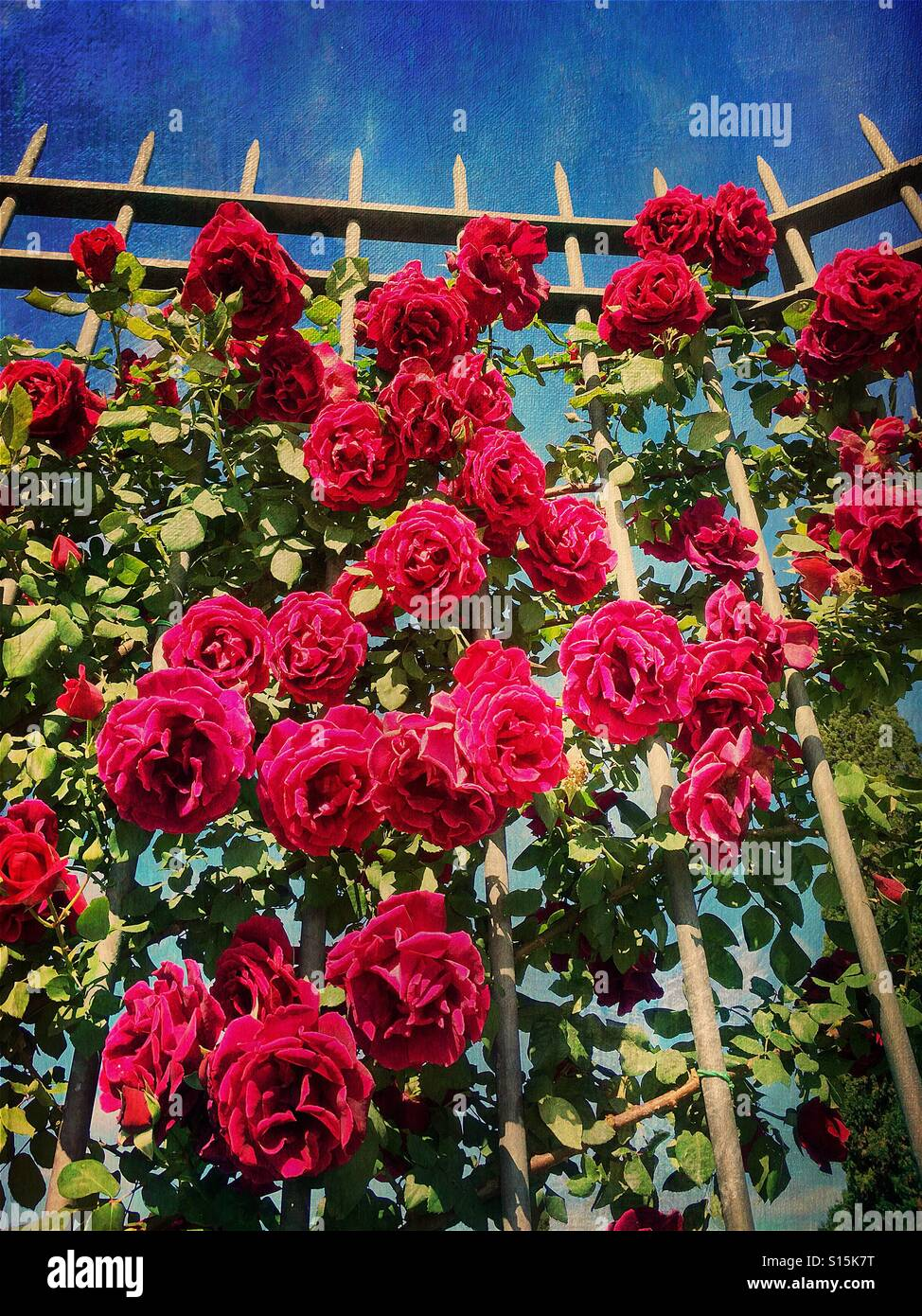 Beautiful red roses at the Roseto Comunale garden in Ripa, Rome, Italy. Vintage paper texture overlay. - Stock Image