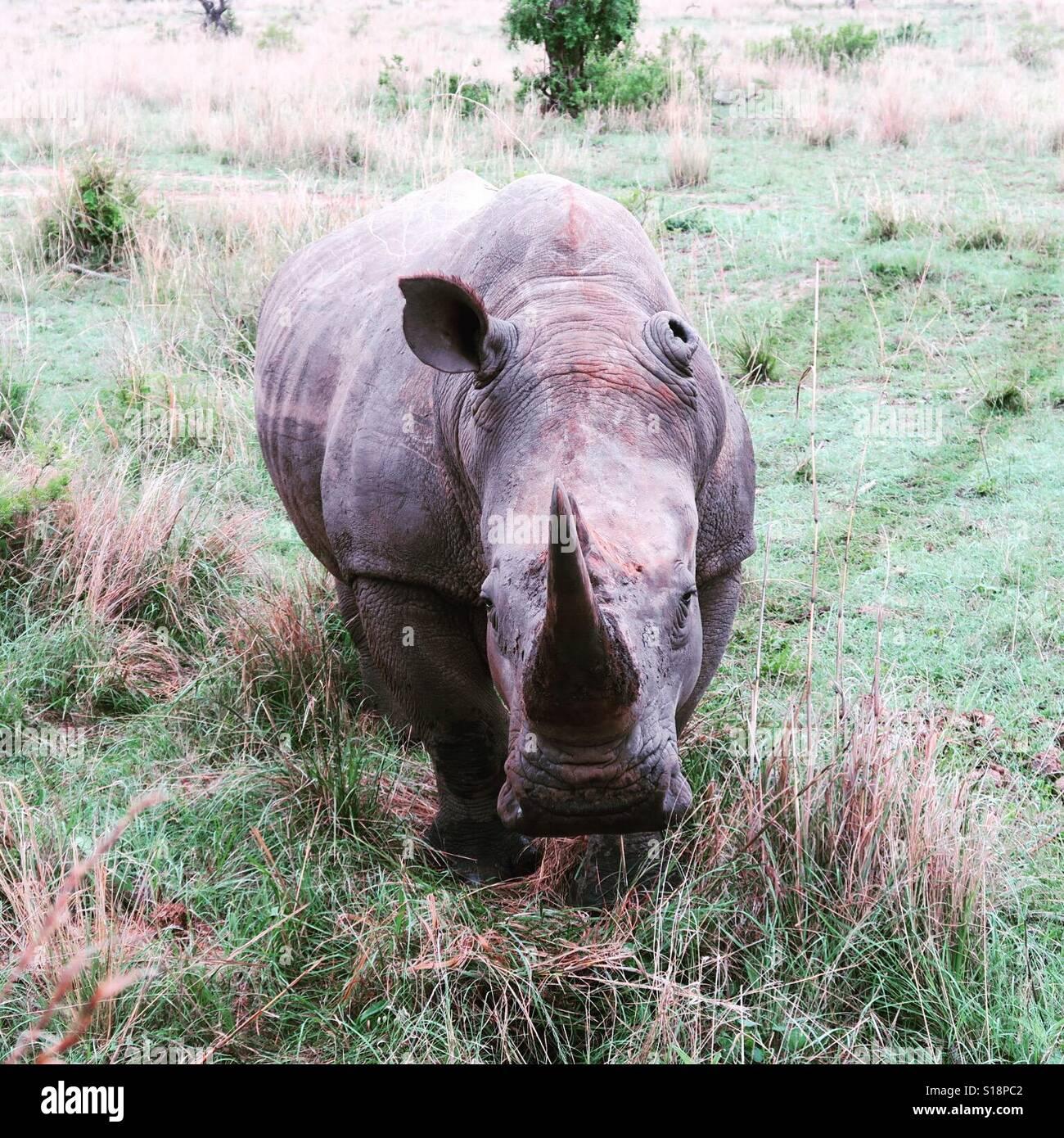 A male white rhino approaching. - Stock Image