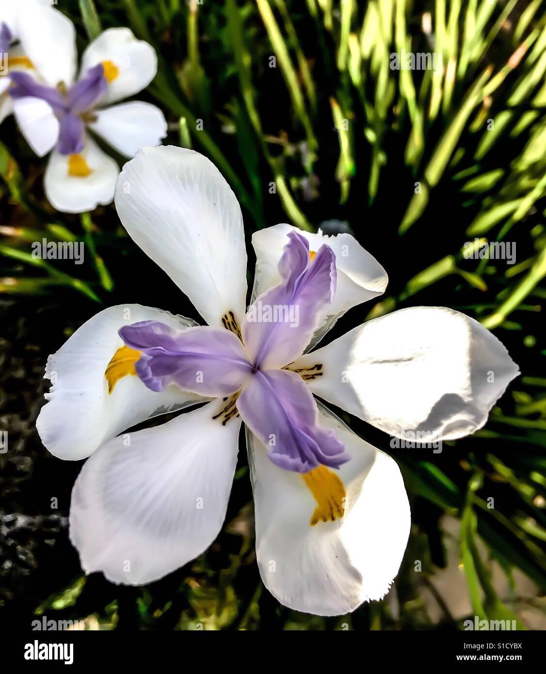 White And Light Purple Iris Flower In Sunlight In Garden Stock Photo