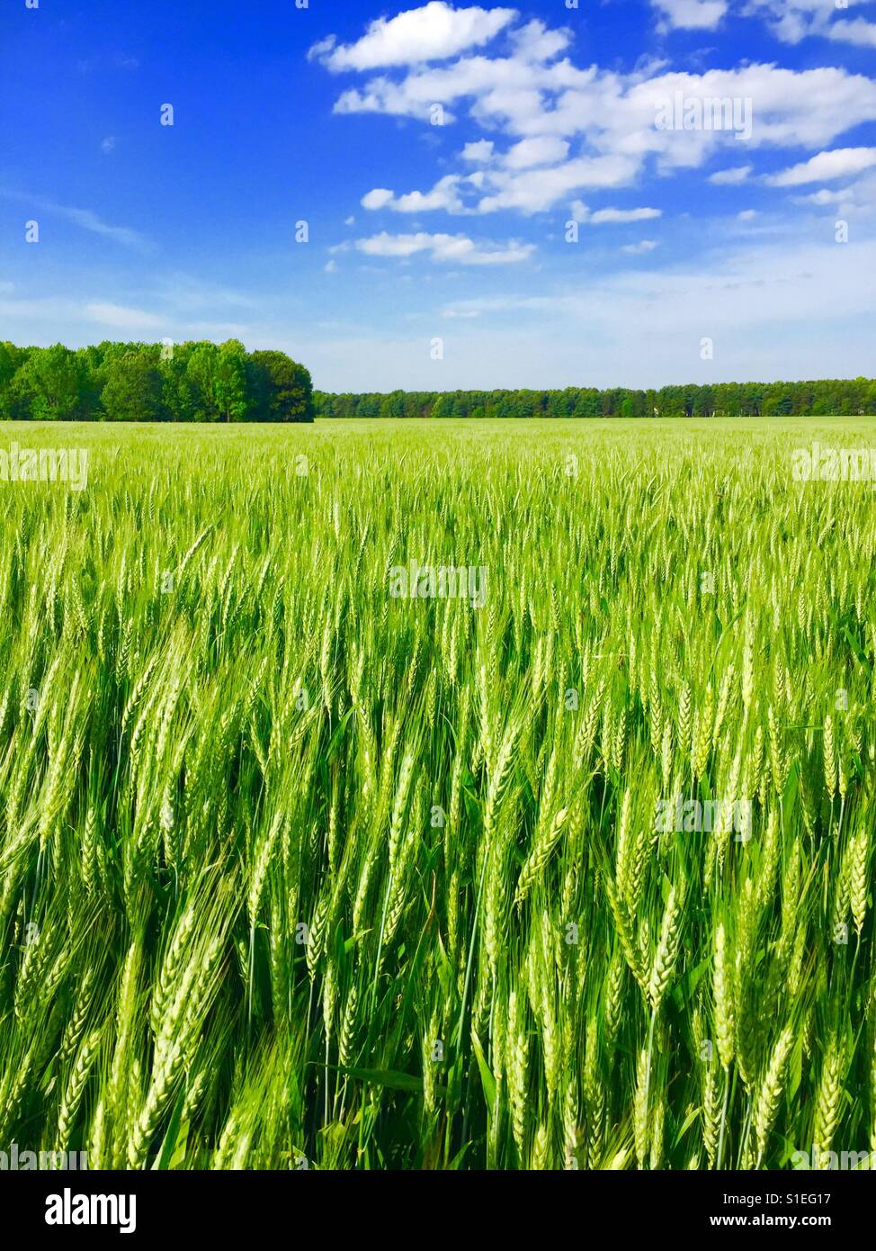 Young wheat growing on a farm is Southern Virginia USA Stock Photo
