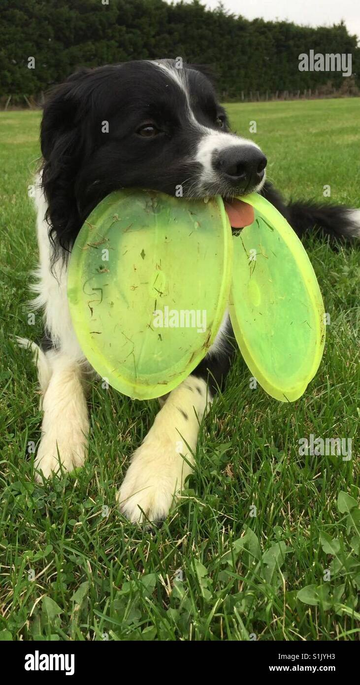 Cute dog with two frisbees in mouth - Stock Image
