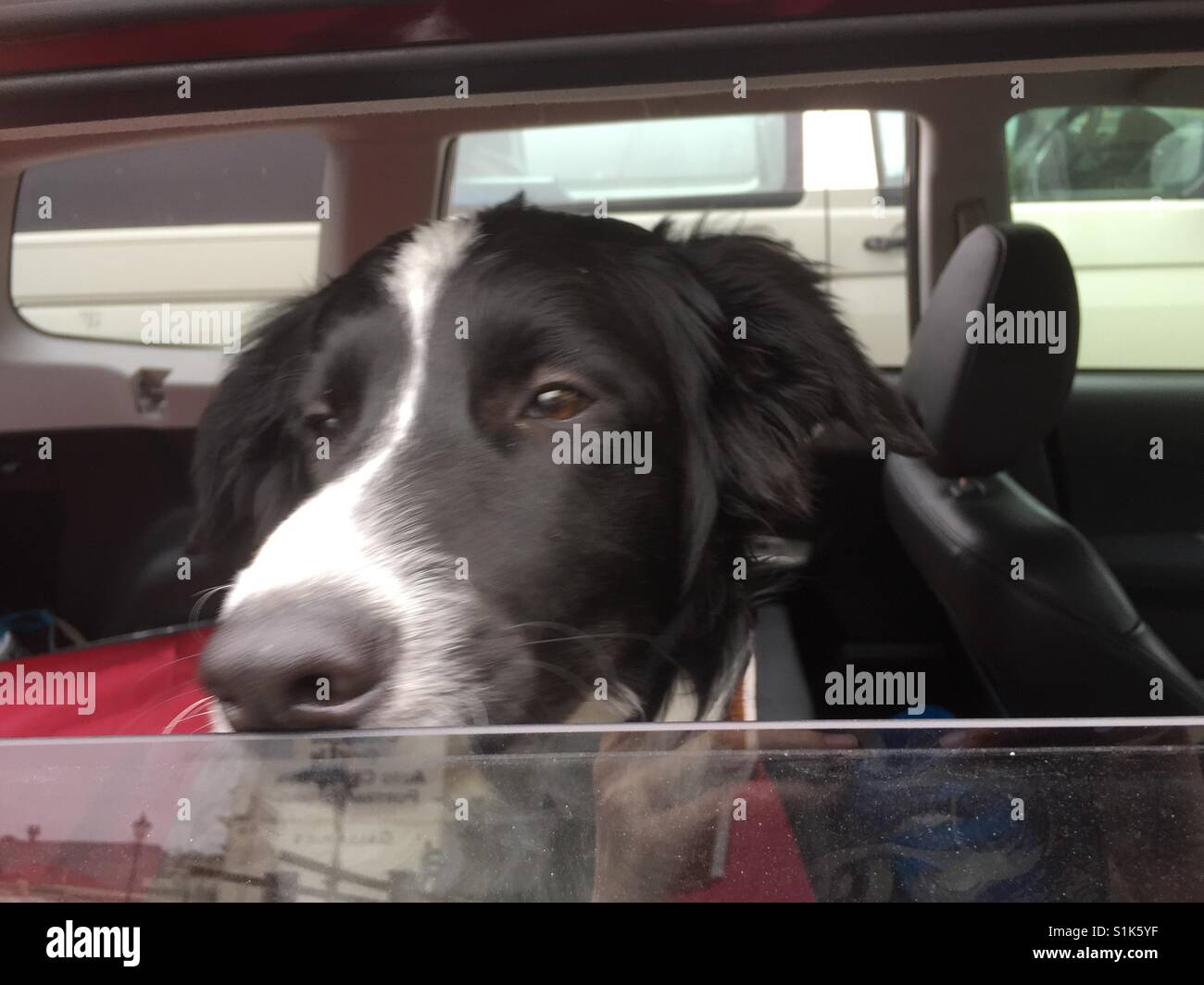 Dog waiting in car - Stock Image