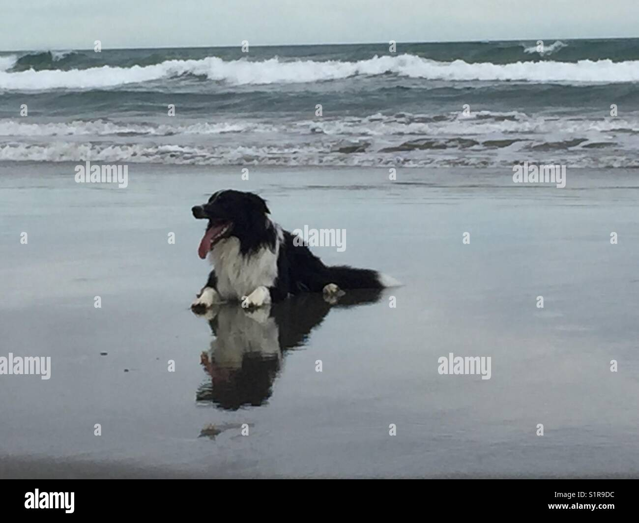 Dog on beach with reflection in water - Stock Image