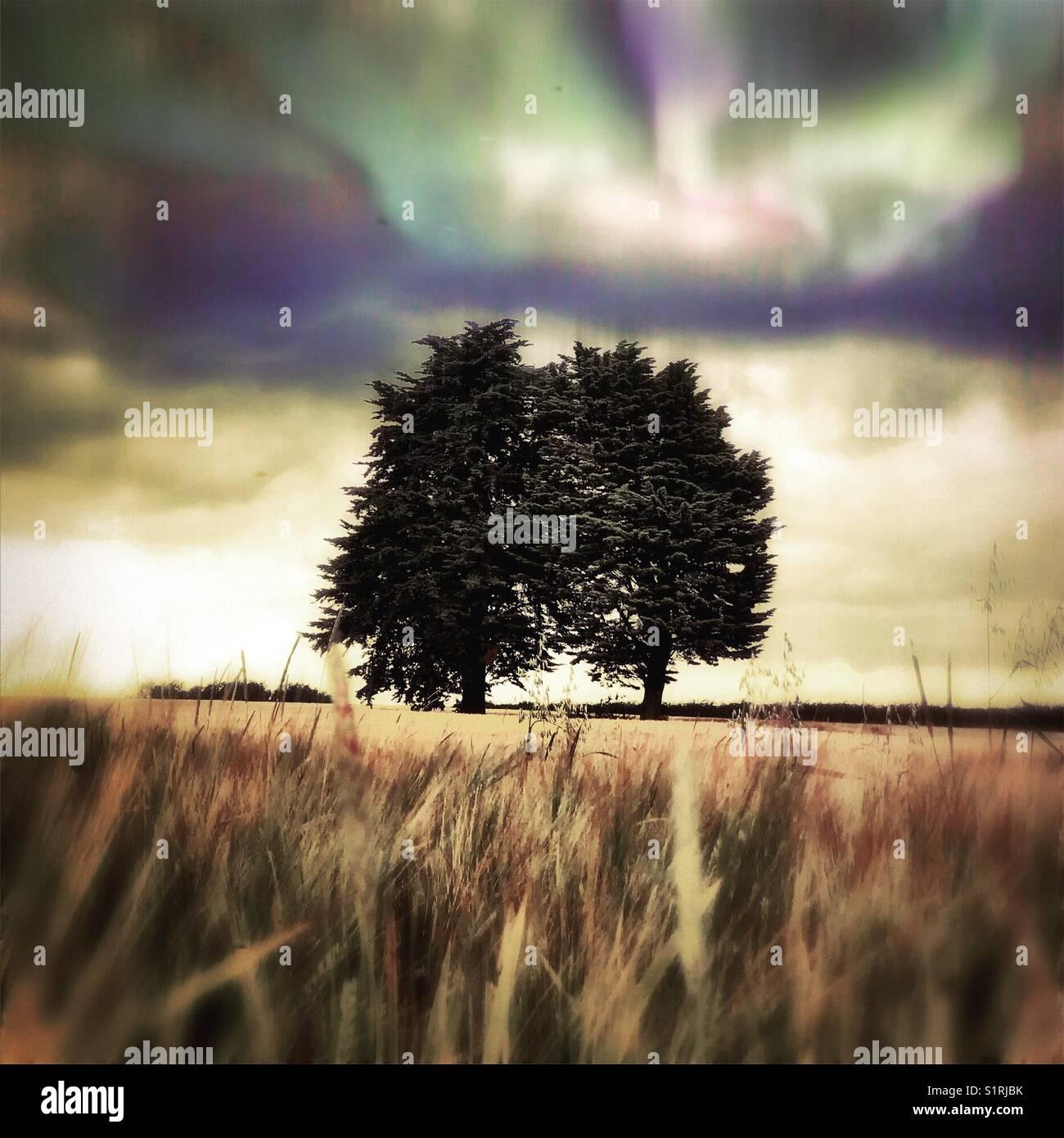 Yew Trees scenic - Stock Image