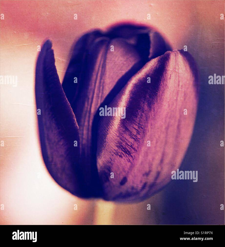 Tulip - Stock Image