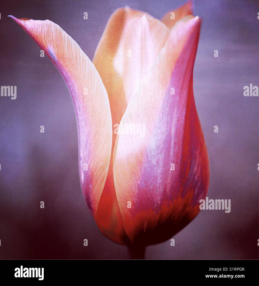 Tulip abstract - Stock Image