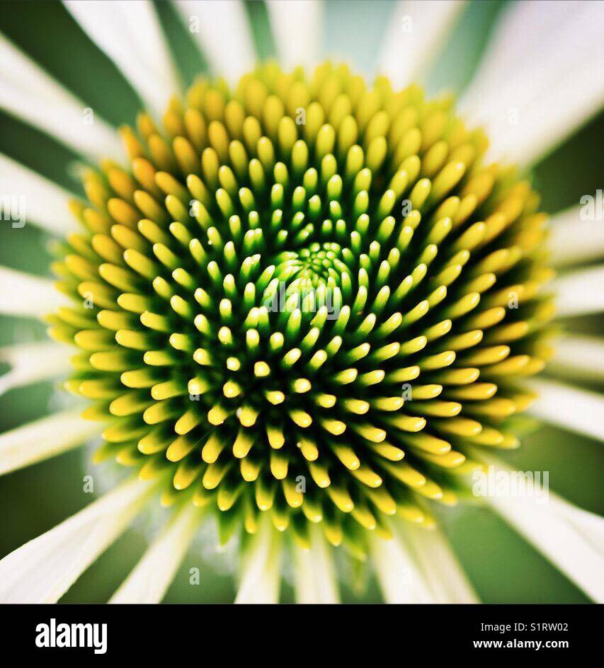 Abstract echinacea white swan - Stock Image