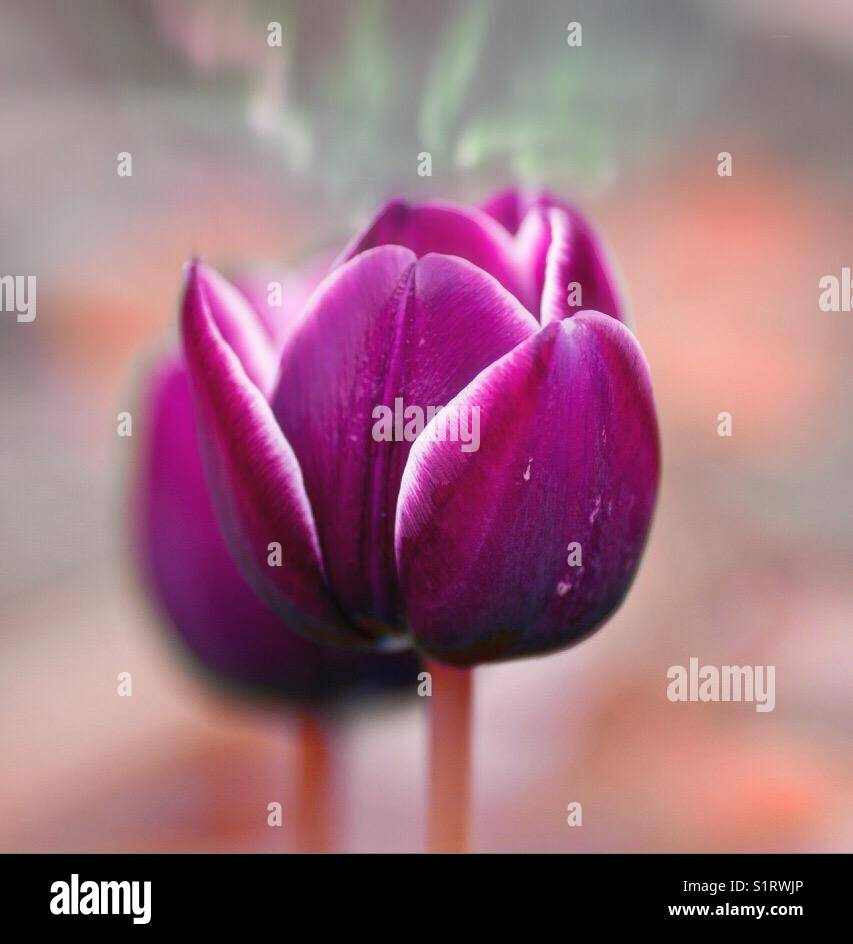 Tulip abstract close Up - Stock Image