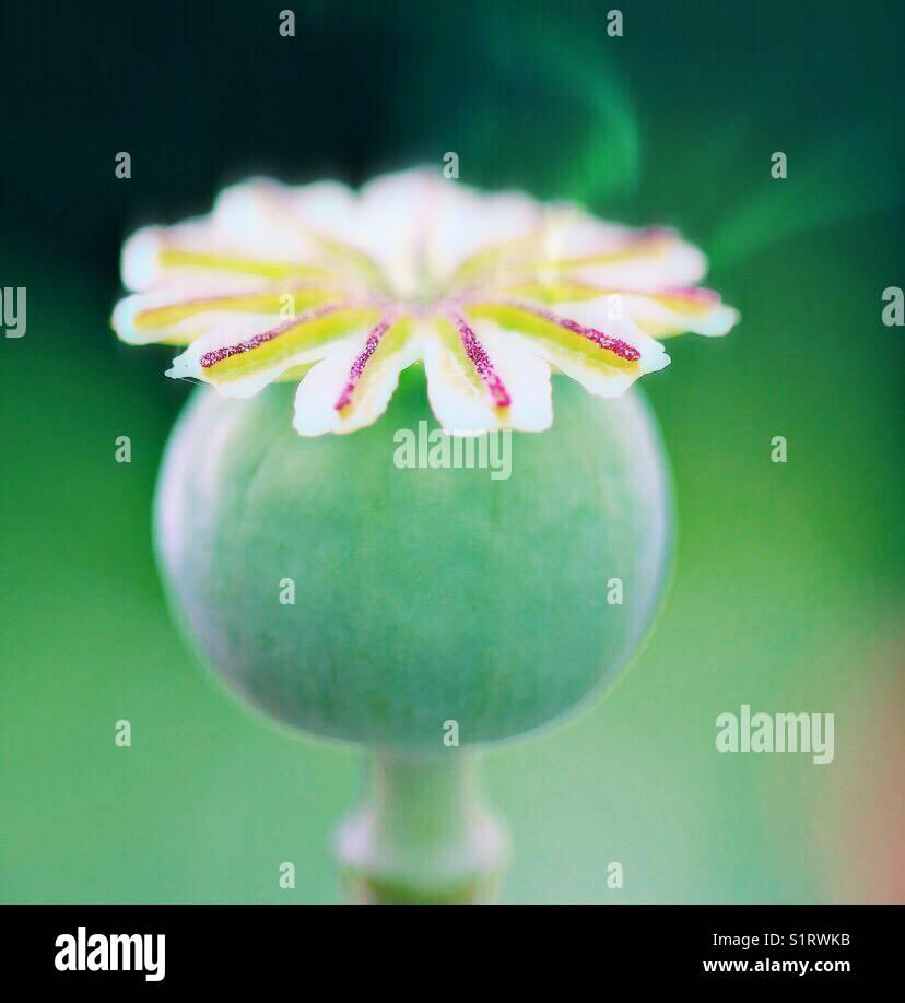 Poppy seed head autumnal - Stock Image