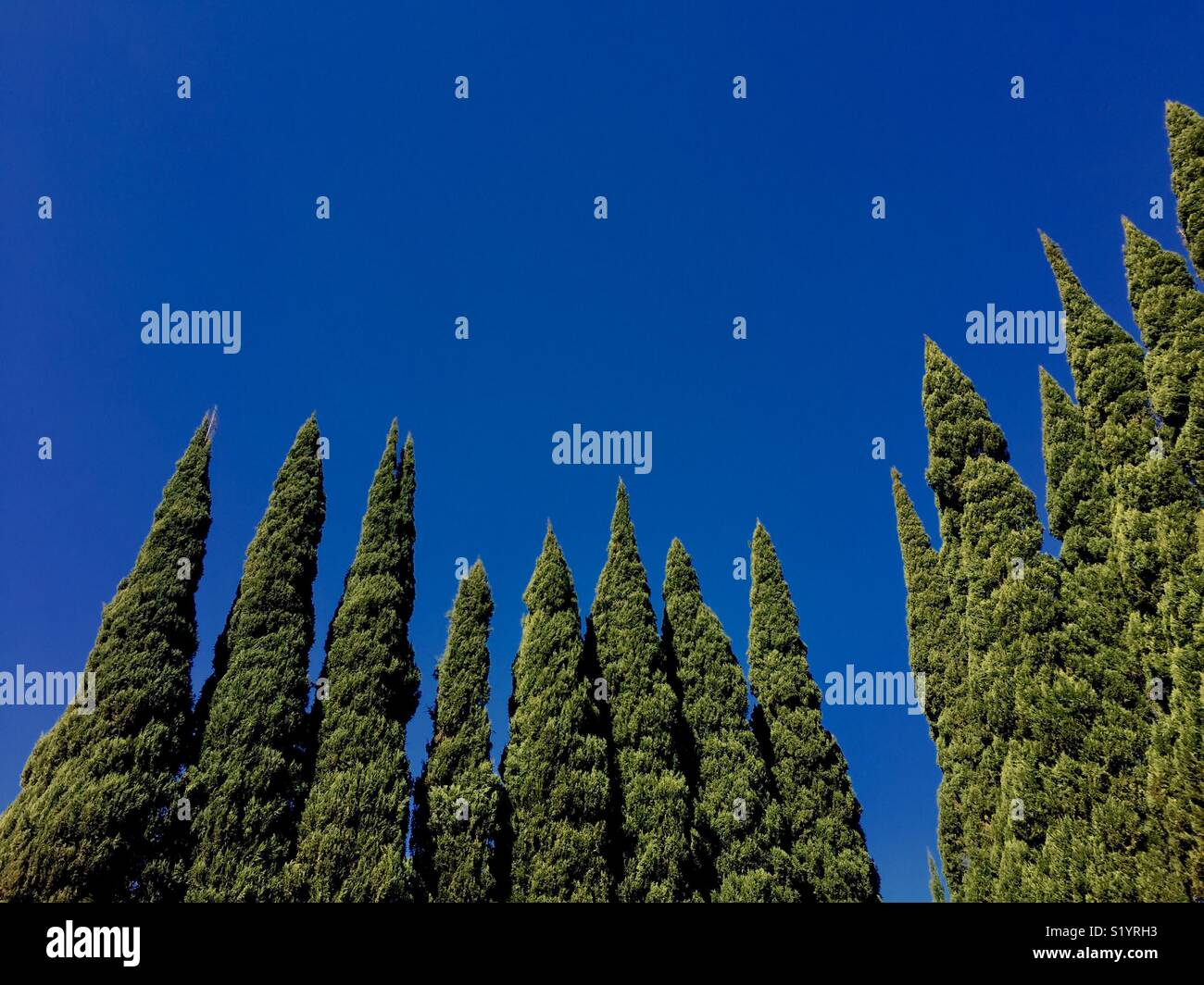 Italian cypress trees pointing to a blue sky. Stock Photo