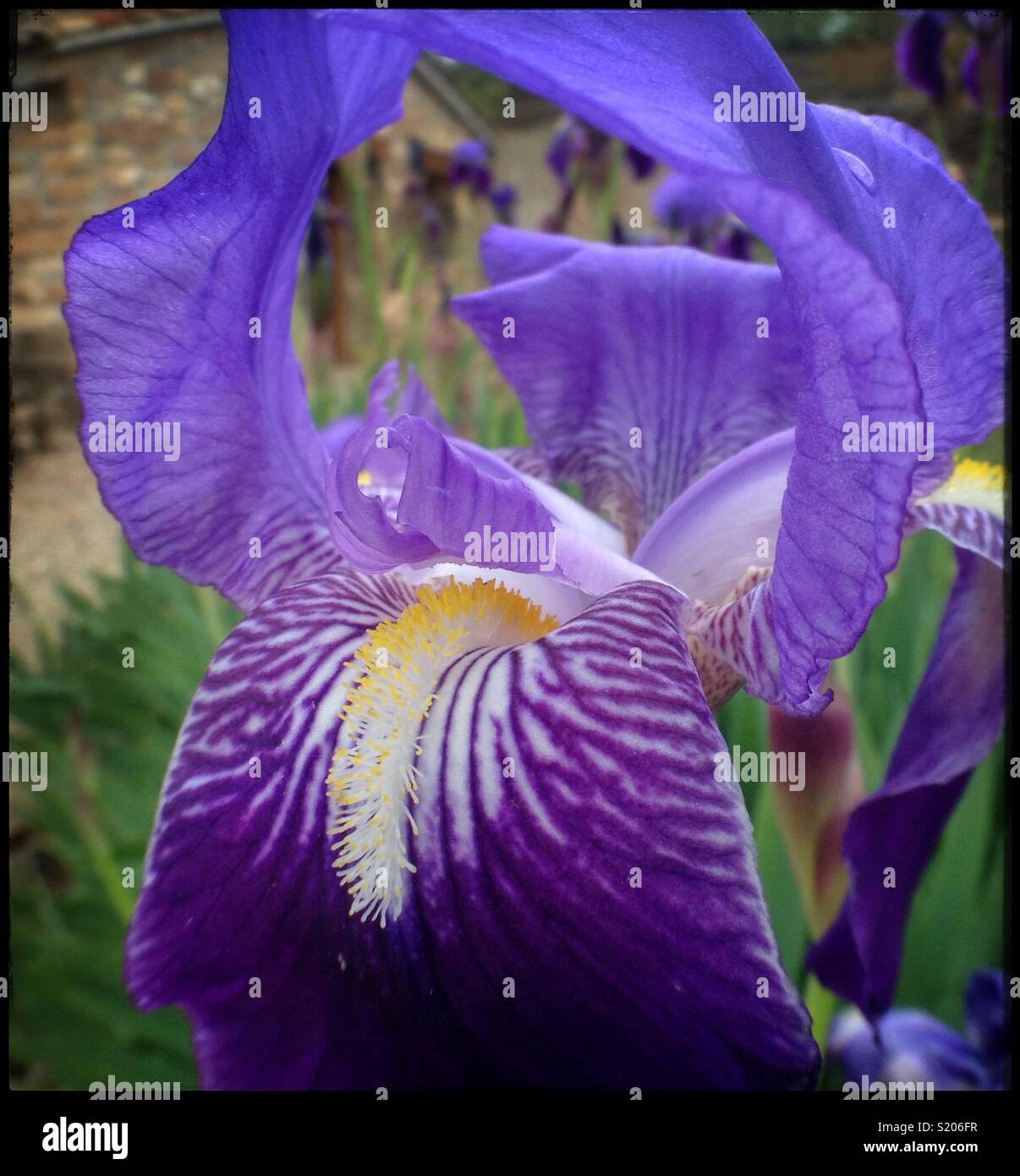 The Flower Of The Fleur De Lys Also Known As The Bearded Iris
