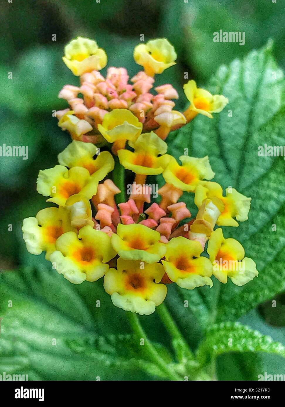 Tiny Yellow Flowers Blooming Lantana Camara Stock Photo 311059713