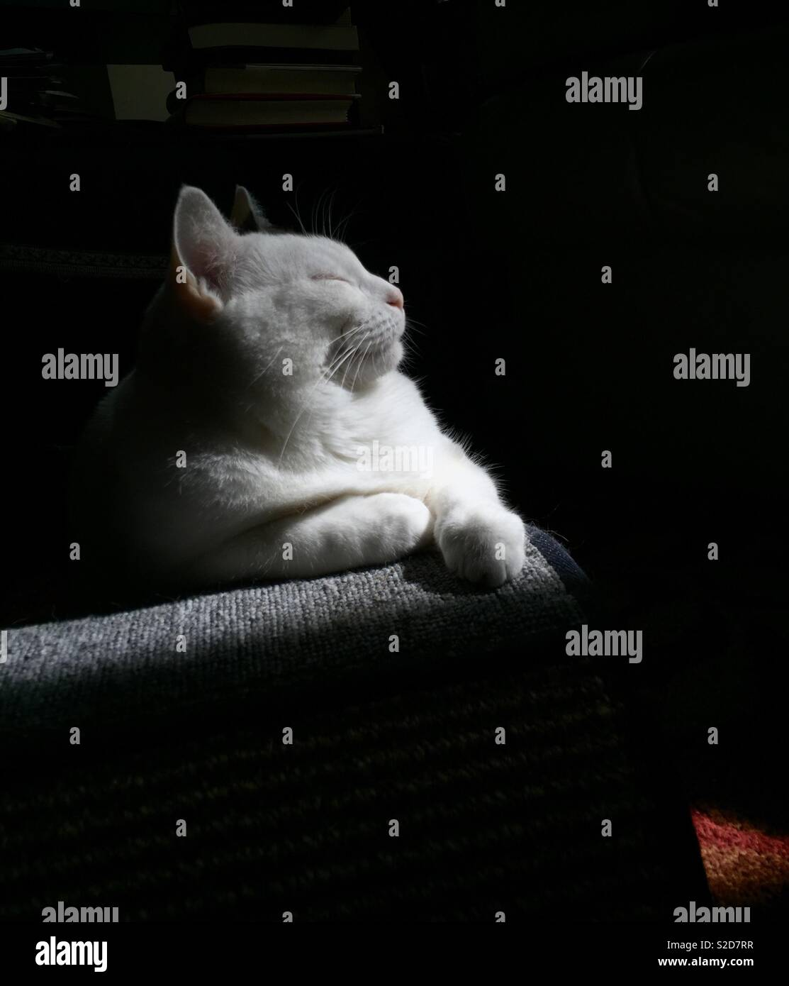 White cat ready for her close up. Cat profile resting in sunlight on a kitty wave chair. Stock Photo