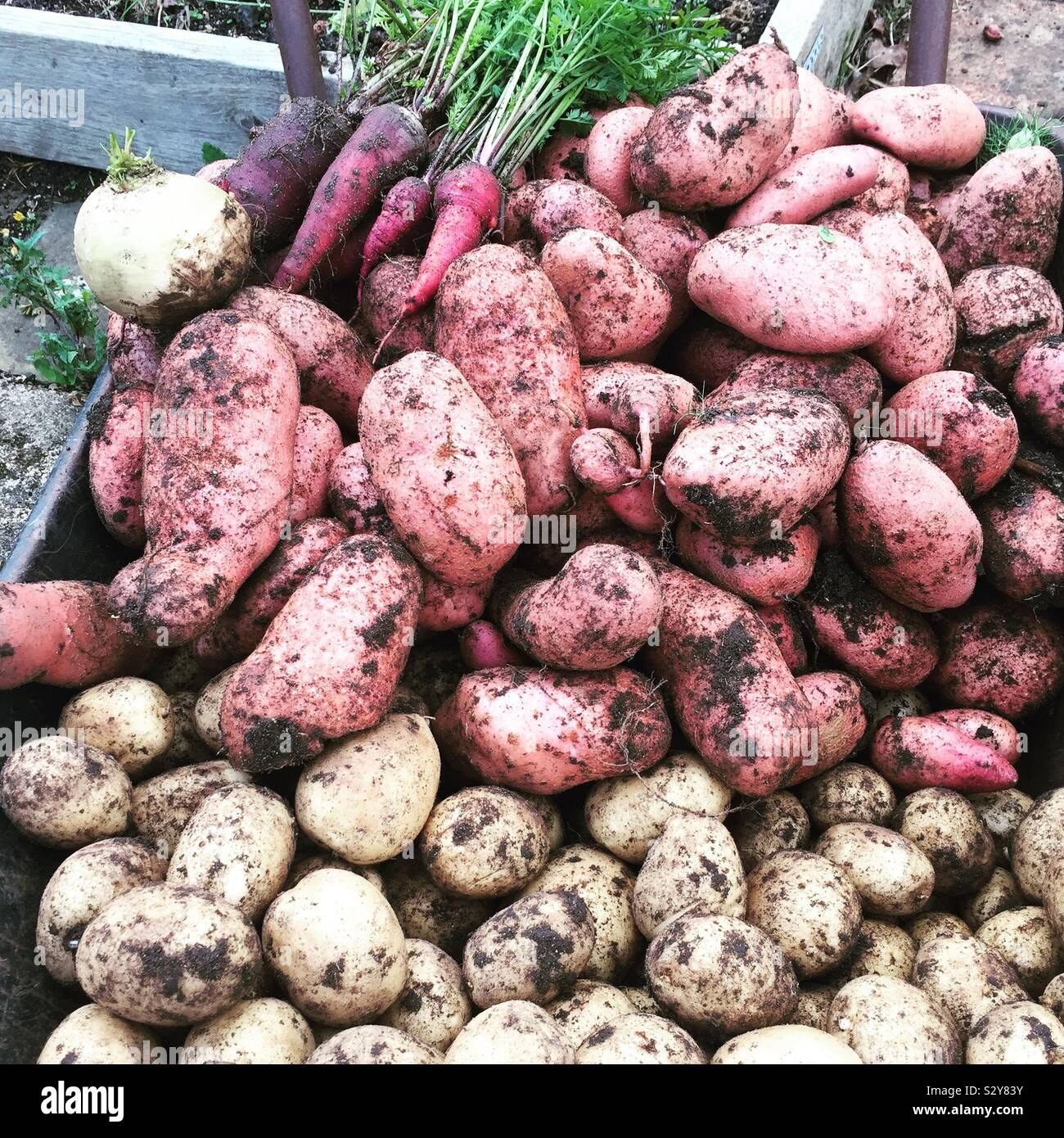 crop-of-freshly-dug-potatoes-and-carrots