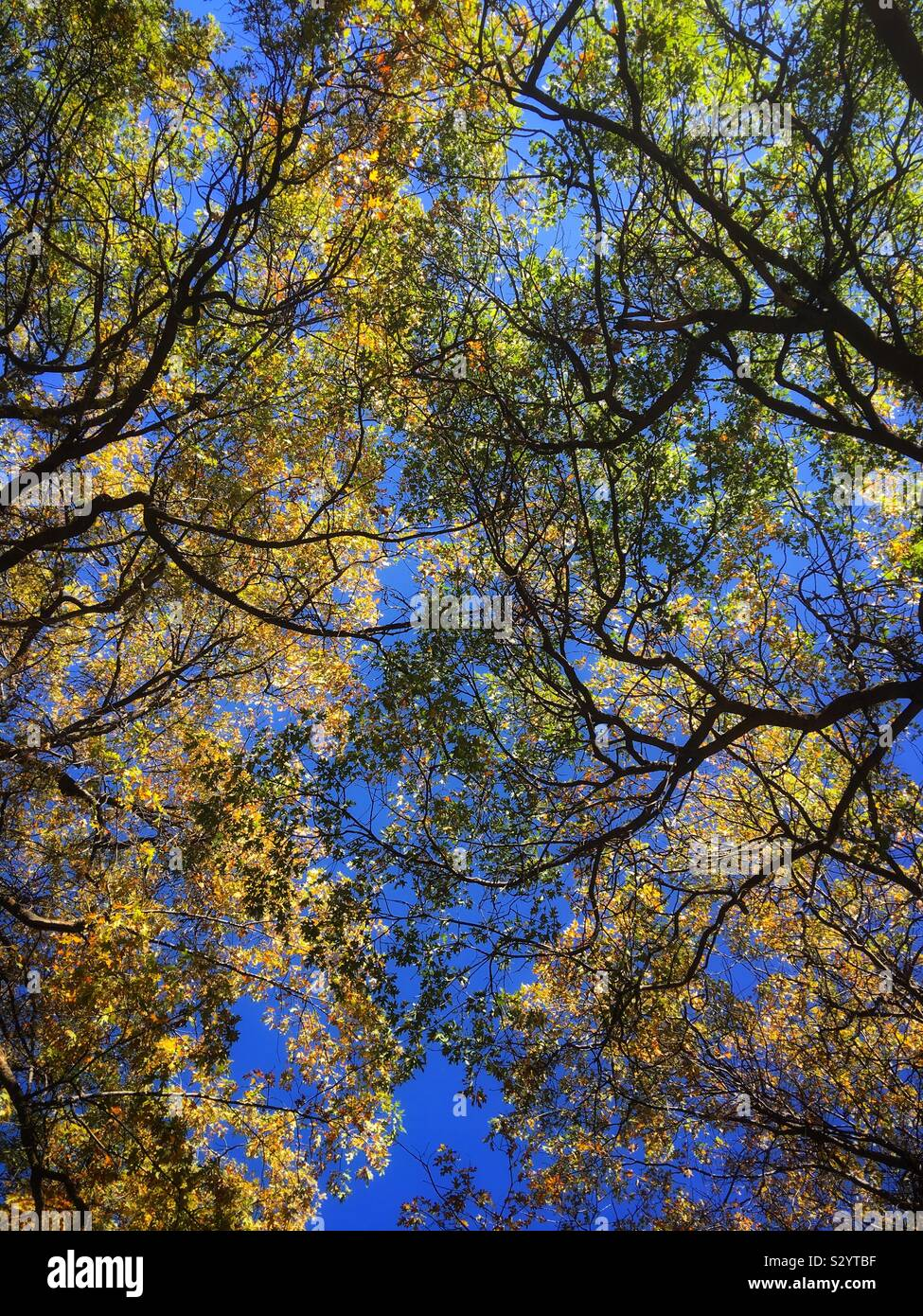 looking-up-at-yellow-leaves-on-californi