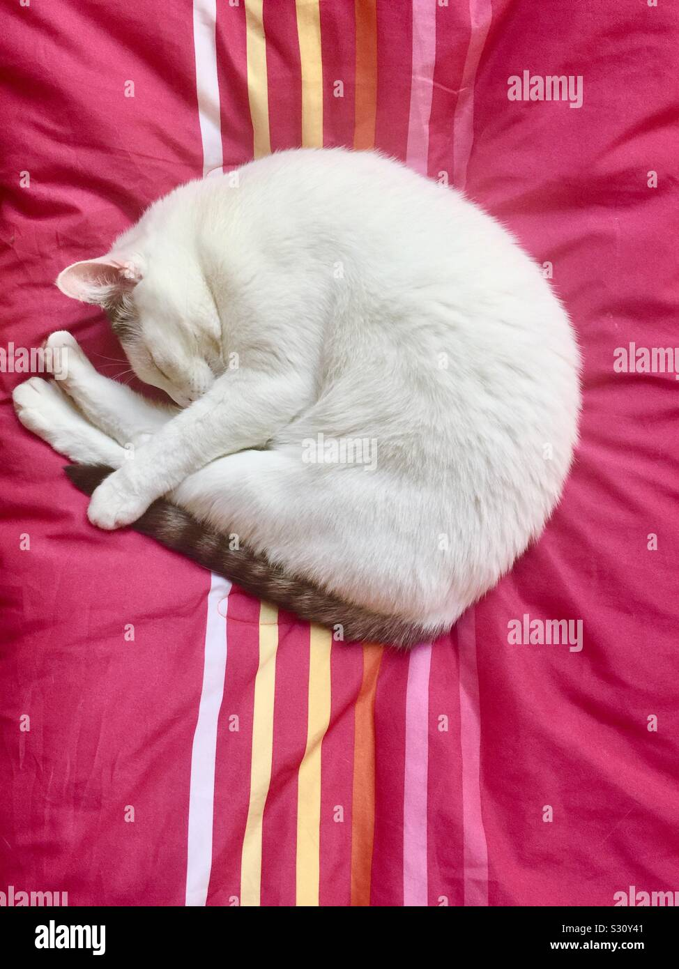White cat holding its striped tail, curled up on a pink blanket with colorful stripes. Stock Photo