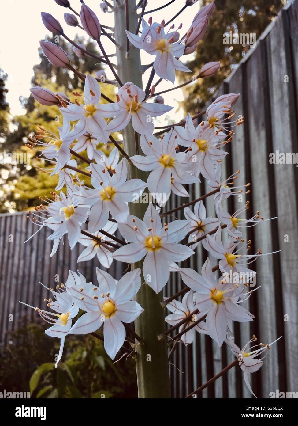 eremurus-flowers-opening-S36ECX.jpg