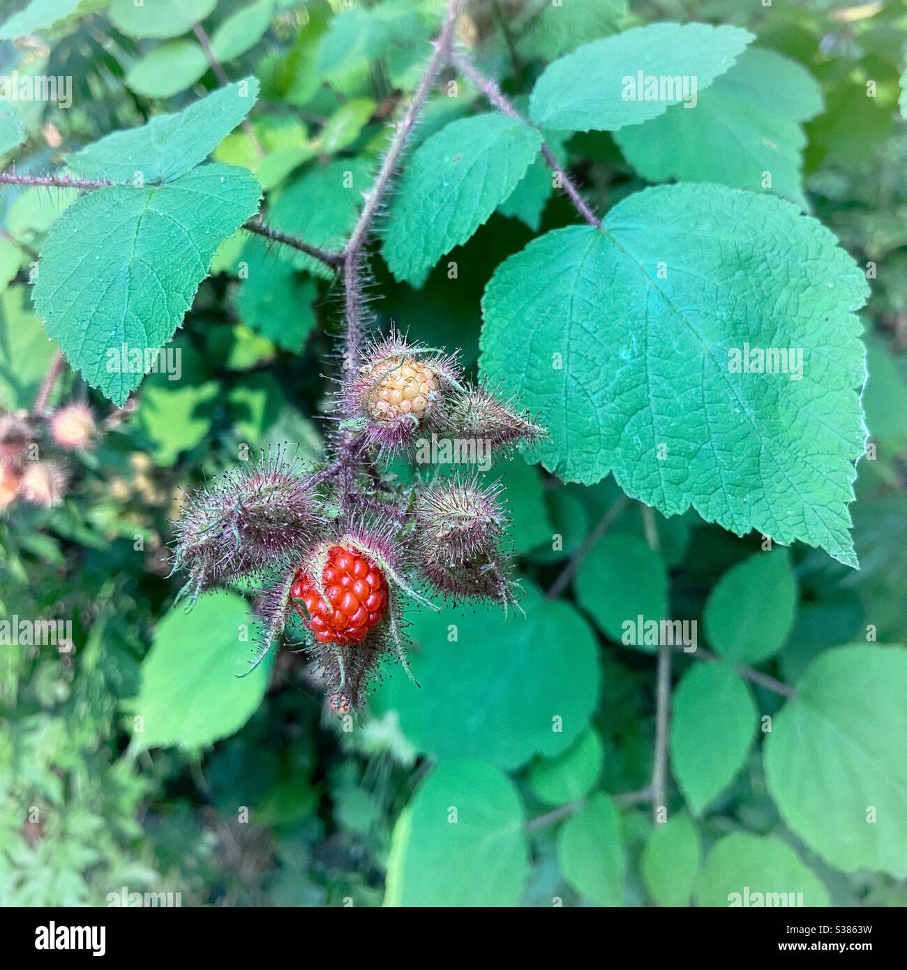 wineberry-bush-with-fruit-wine-berries-can-often-be-harvested-in-summer-and-again-in-fall-S3863W.jpg
