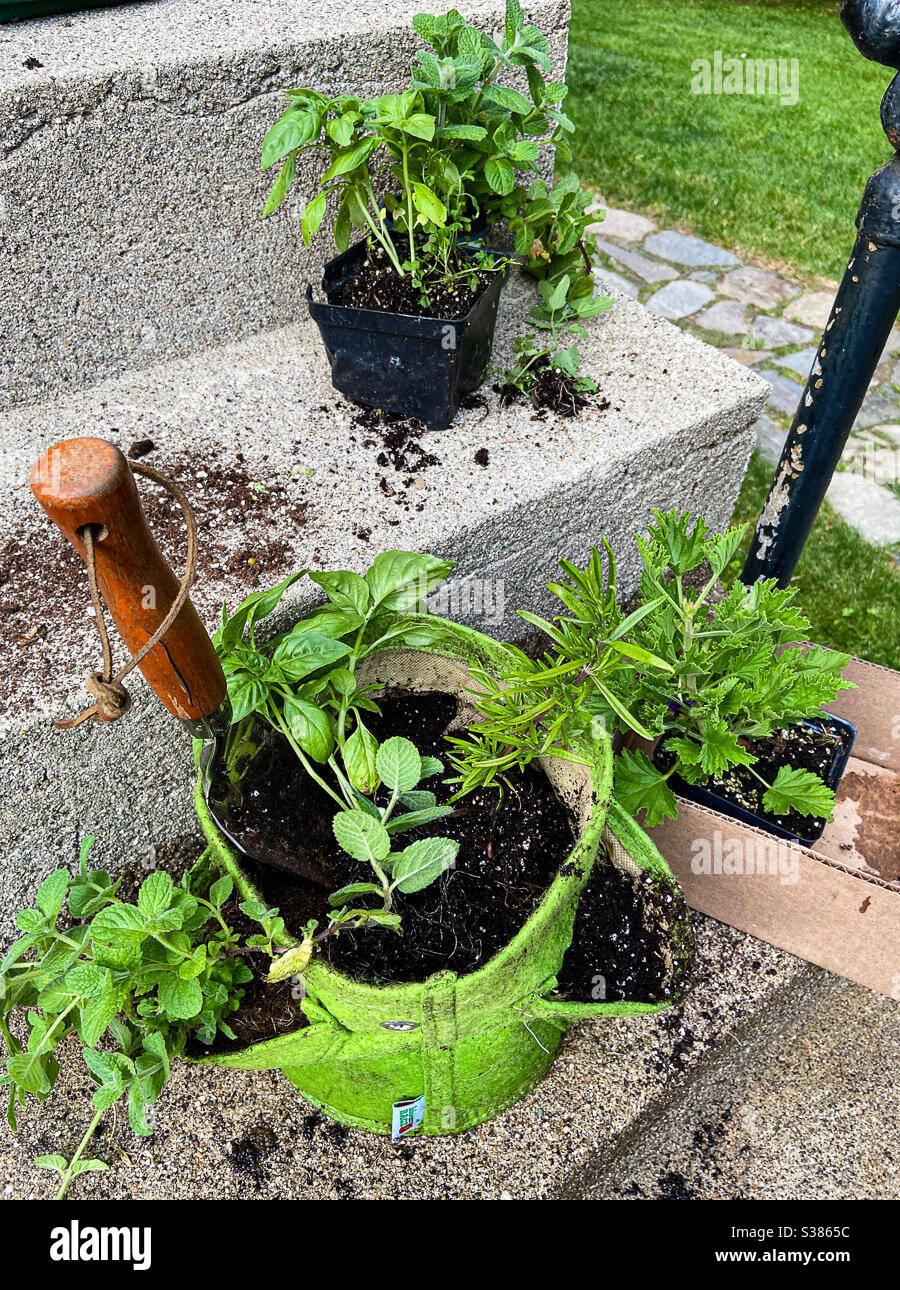 container-garden-planting-herbs-mint-basil-rosemary-and-the-mosquito-plant-citronella-authentic-messy-soil-potting-plants-S3865C.jpg