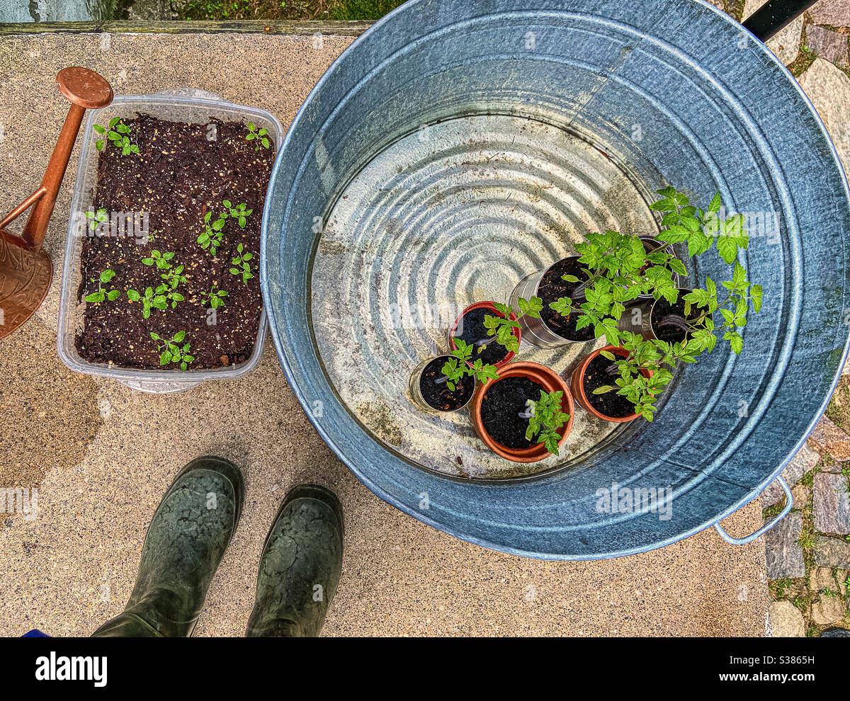 starting-a-garden-tomato-plants-seedlings-in-pots-and-blue-sage-salvia-seen-from-above-with-feet-in-green-wellingtons-type-gardening-boots-S3865H.jpg