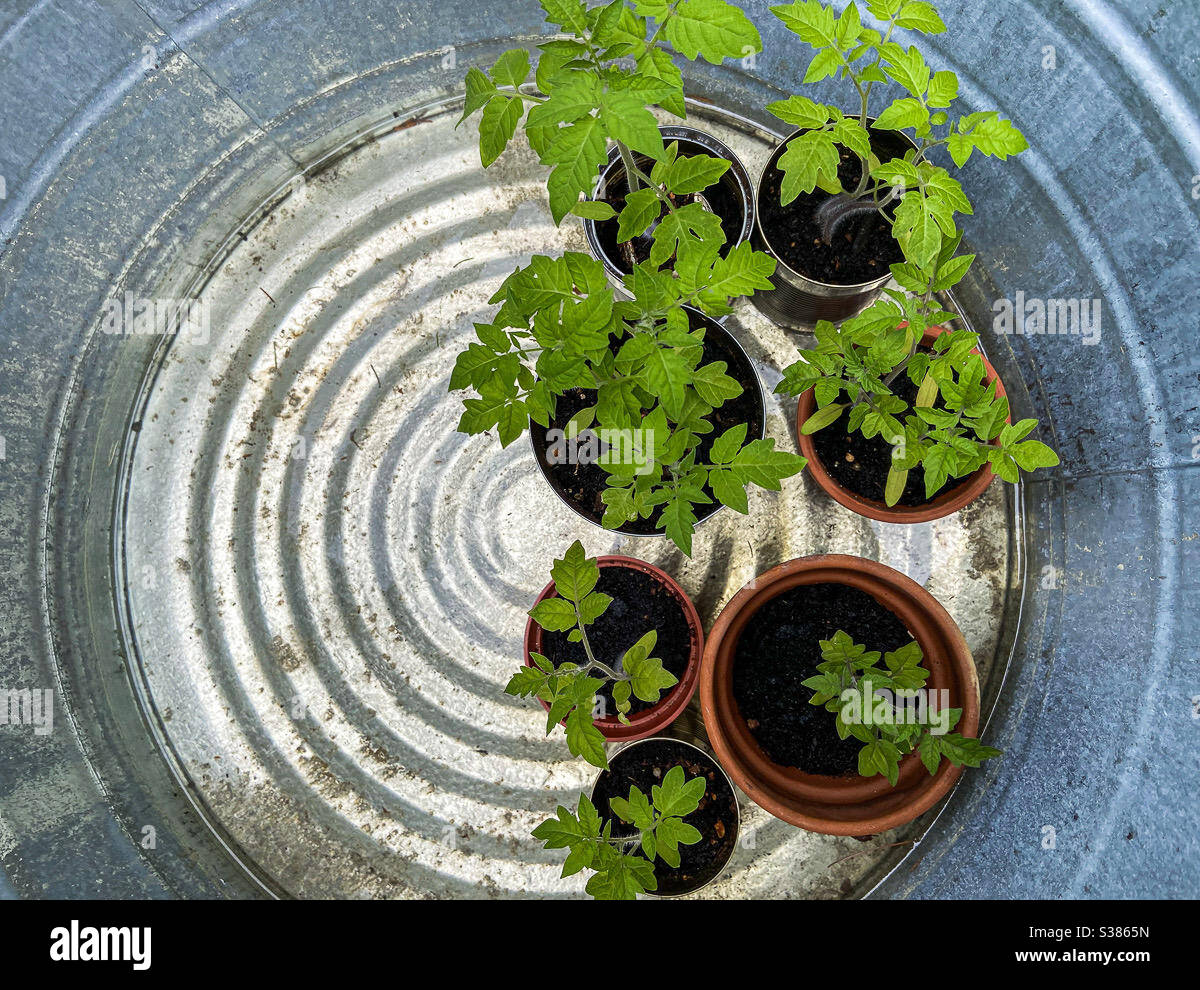 young-tomato-plants-seen-from-above-high-view-growing-in-pots-being-hardened-off-outside-before-being-planted-in-the-garden-grappoli-dinverno-italian-winter-grape-tomatoes-S3865N.jpg
