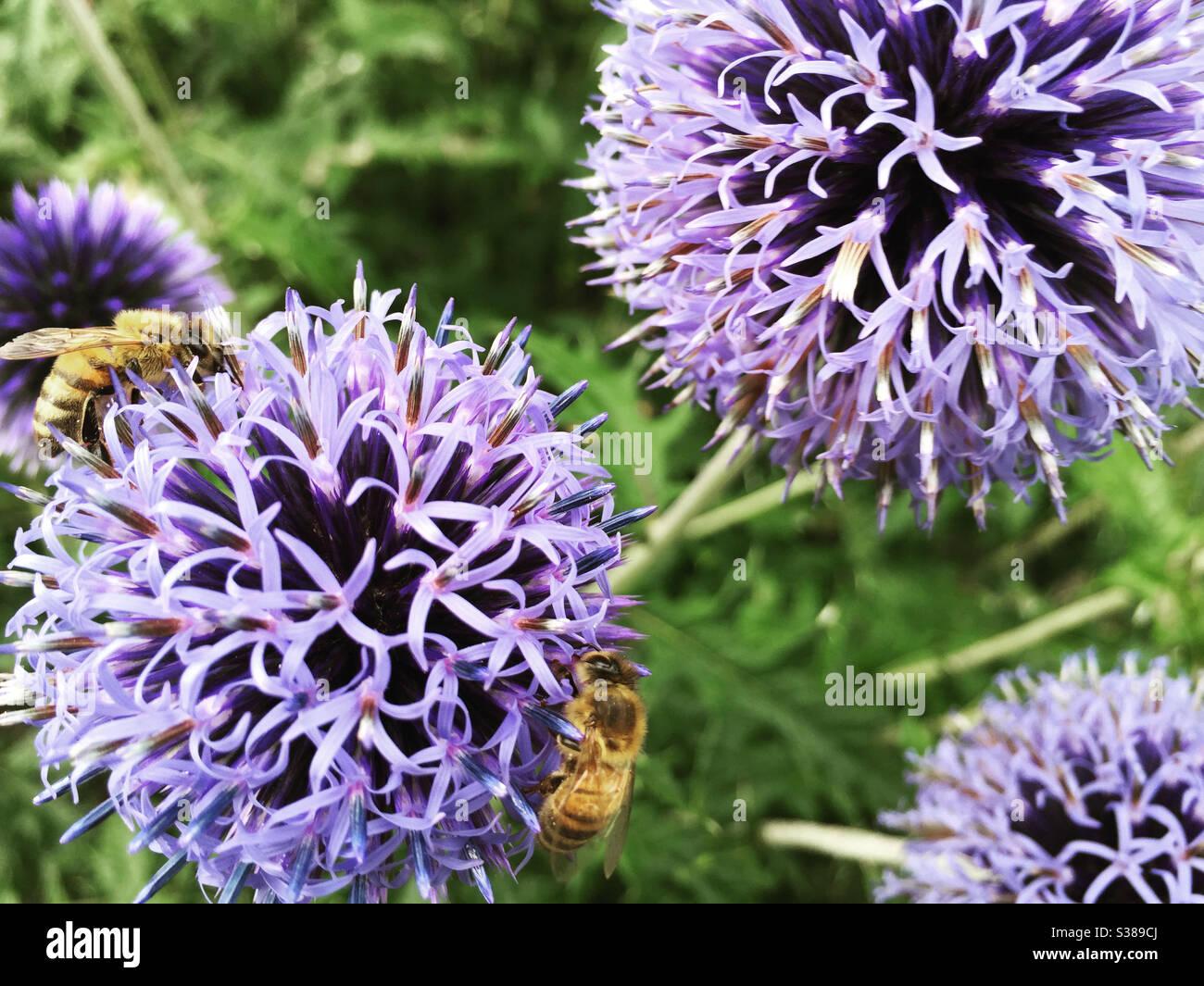 echinops-flower-heads-and-honey-bees-S38