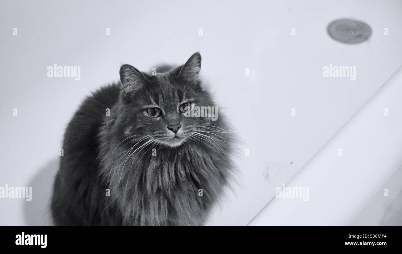 Fluffy gray cat in a white bath tub. Stock Photo