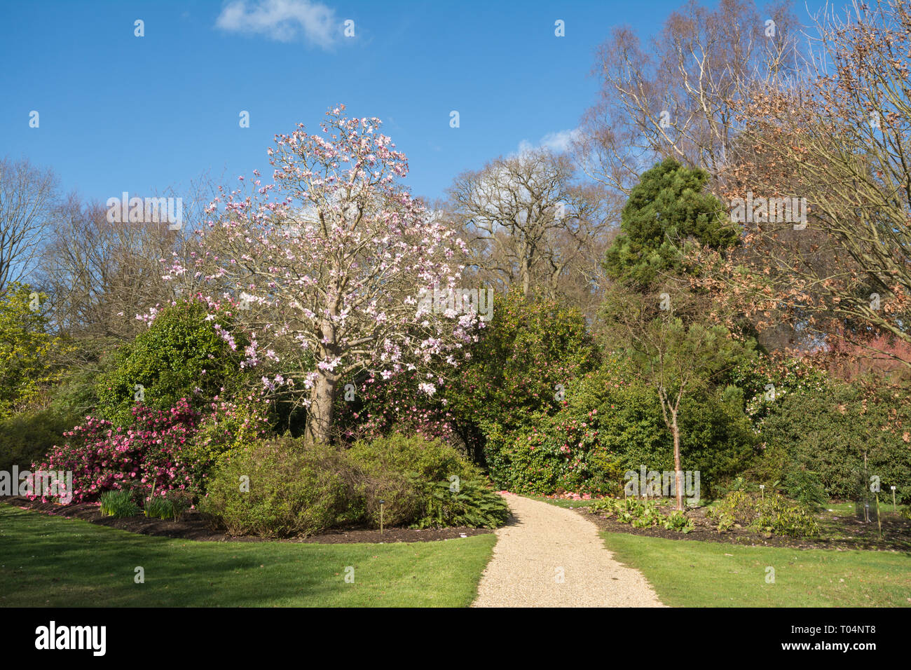 the-spring-garden-at-savill-garden-in-windsor-great-park-during-march-with-flowers-and-magnolias-in-bloom-uk-T04NT8.jpg