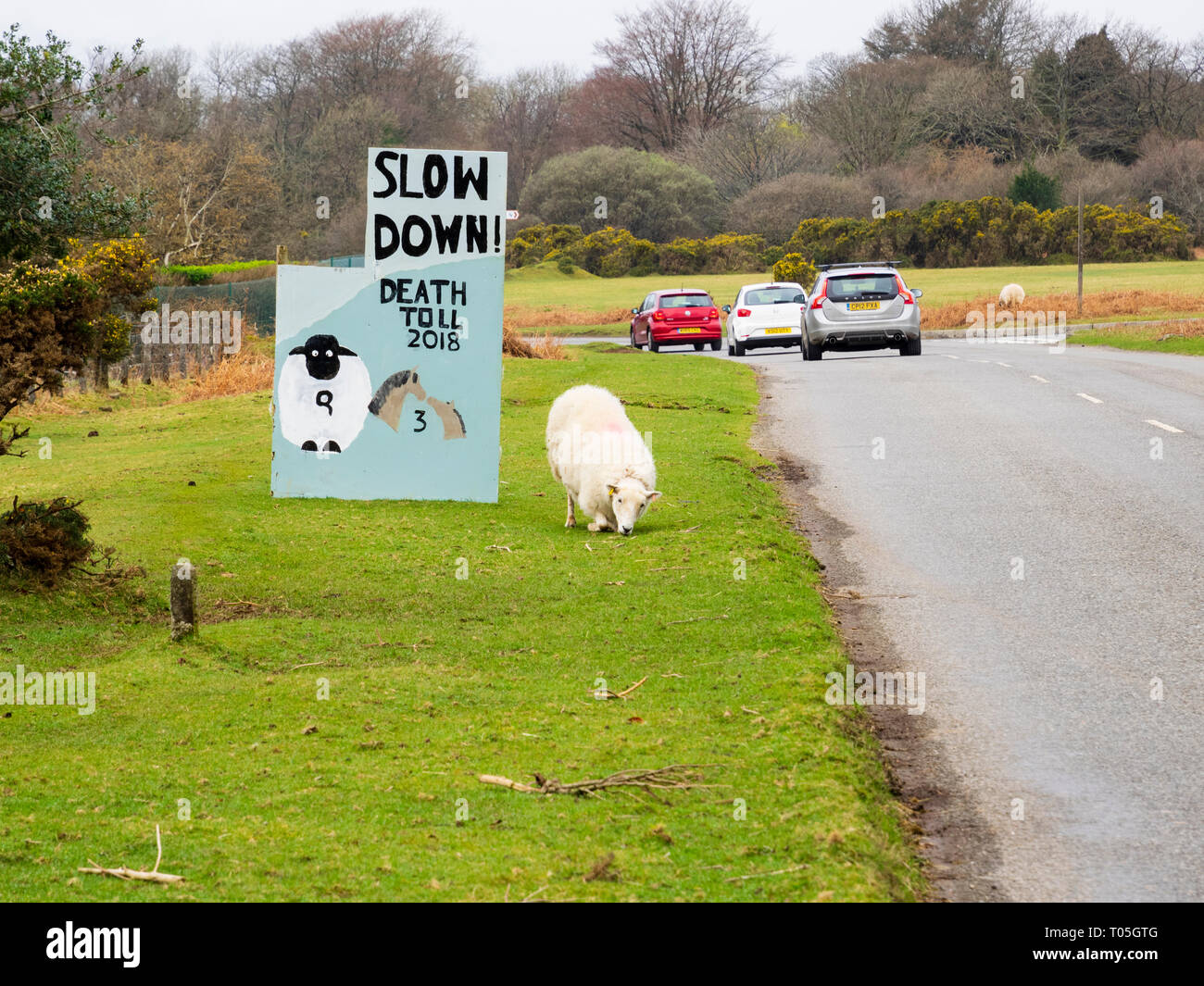 sheep-and-traffic-beside-warning-sign-with-animal-mortality-figures-on-unfenced-road-at-roborough-down-dartmoor-uk-T05GTG.jpg