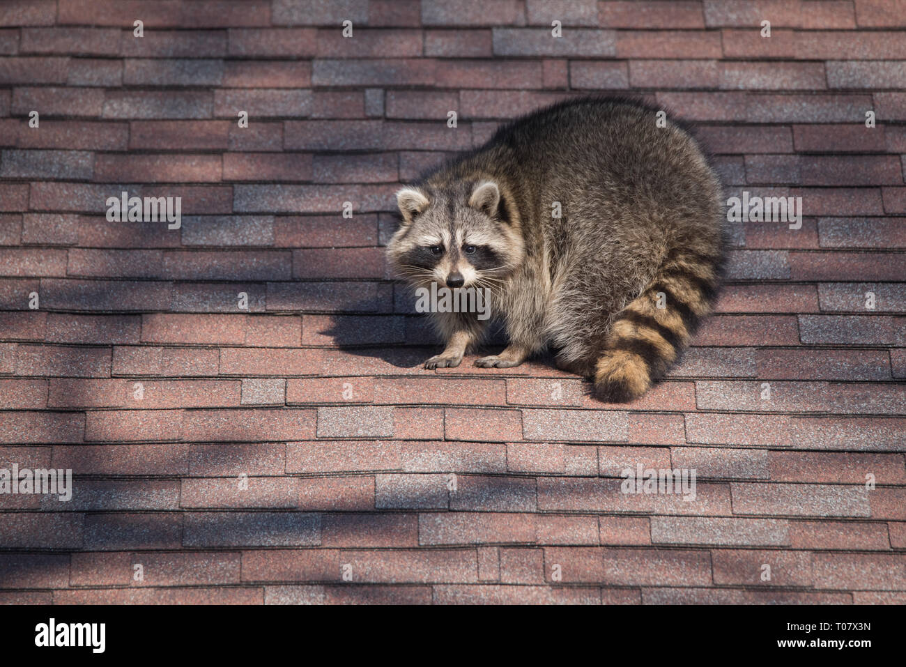 A raccoon walks around on someone's house in the Upper Beaches neighbourhood of Toronto, Canada, a city notorious for its urban raccoon population. Stock Photo