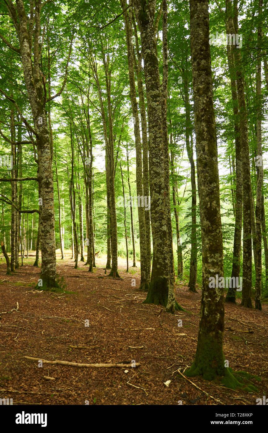 european-beech-fagus-sylvatica-tree-fore
