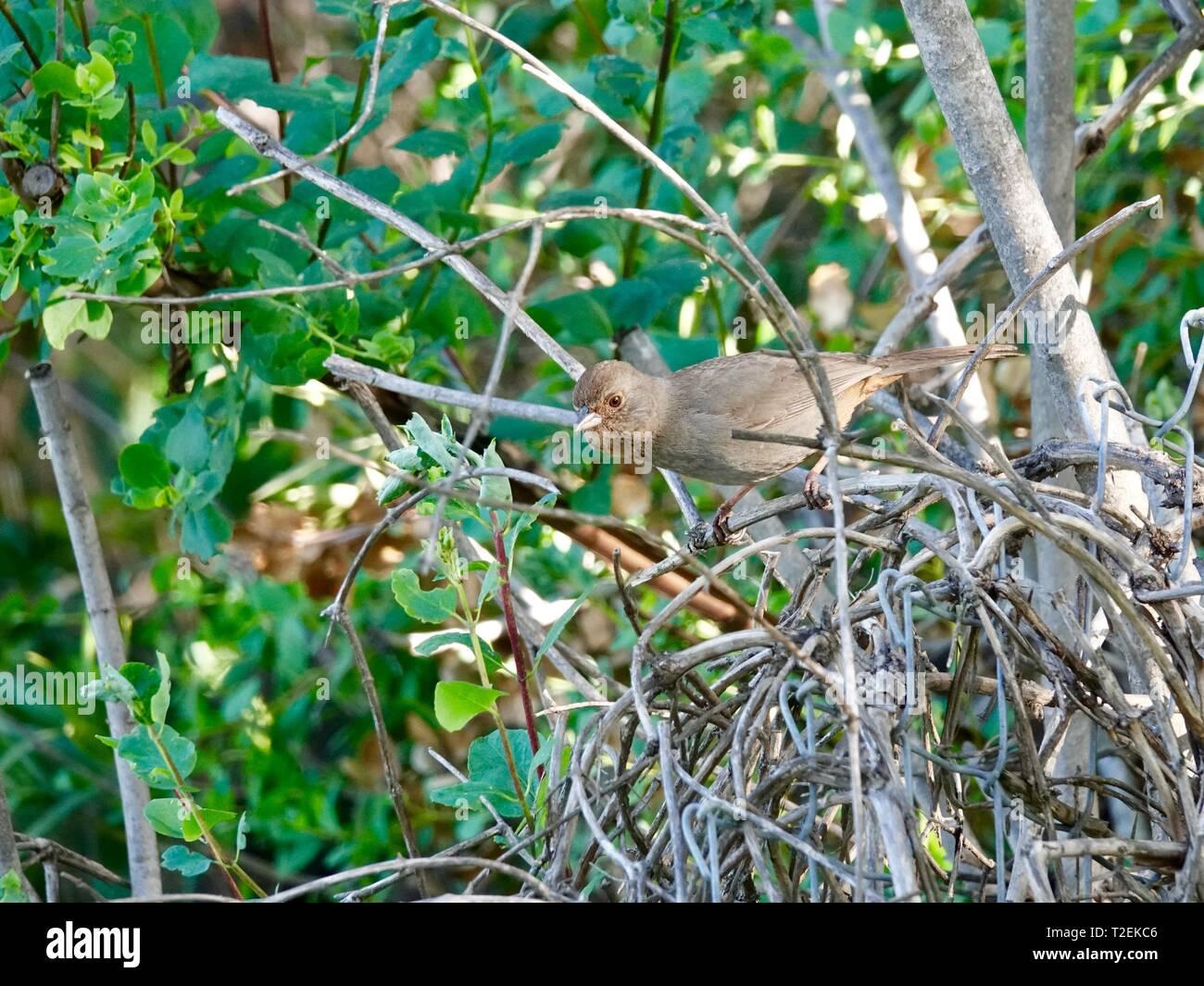 california-towhee-melozone-crissalis-per
