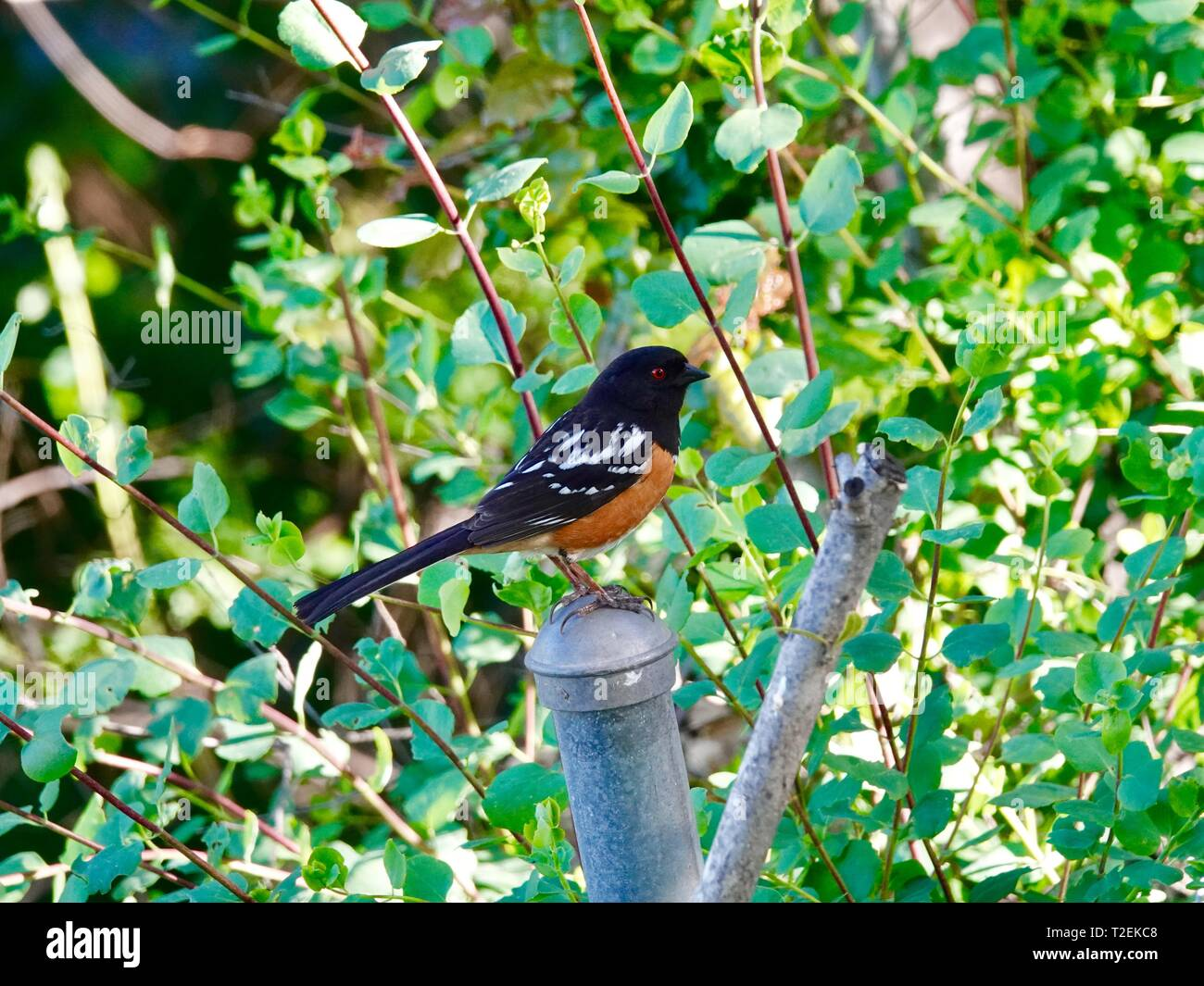 adult-male-spotted-towhee-pipilo-maculat