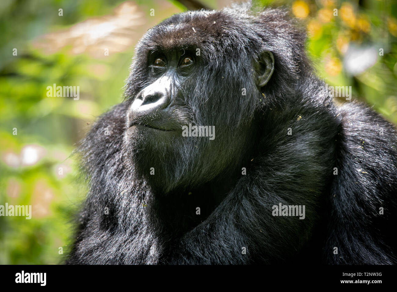 Mountain Gorilla (Gorilla beringei beringei)  of the Muhoza group, in Volcanoes National Park,  Virunga mountain range , Rwanda Stock Photo
