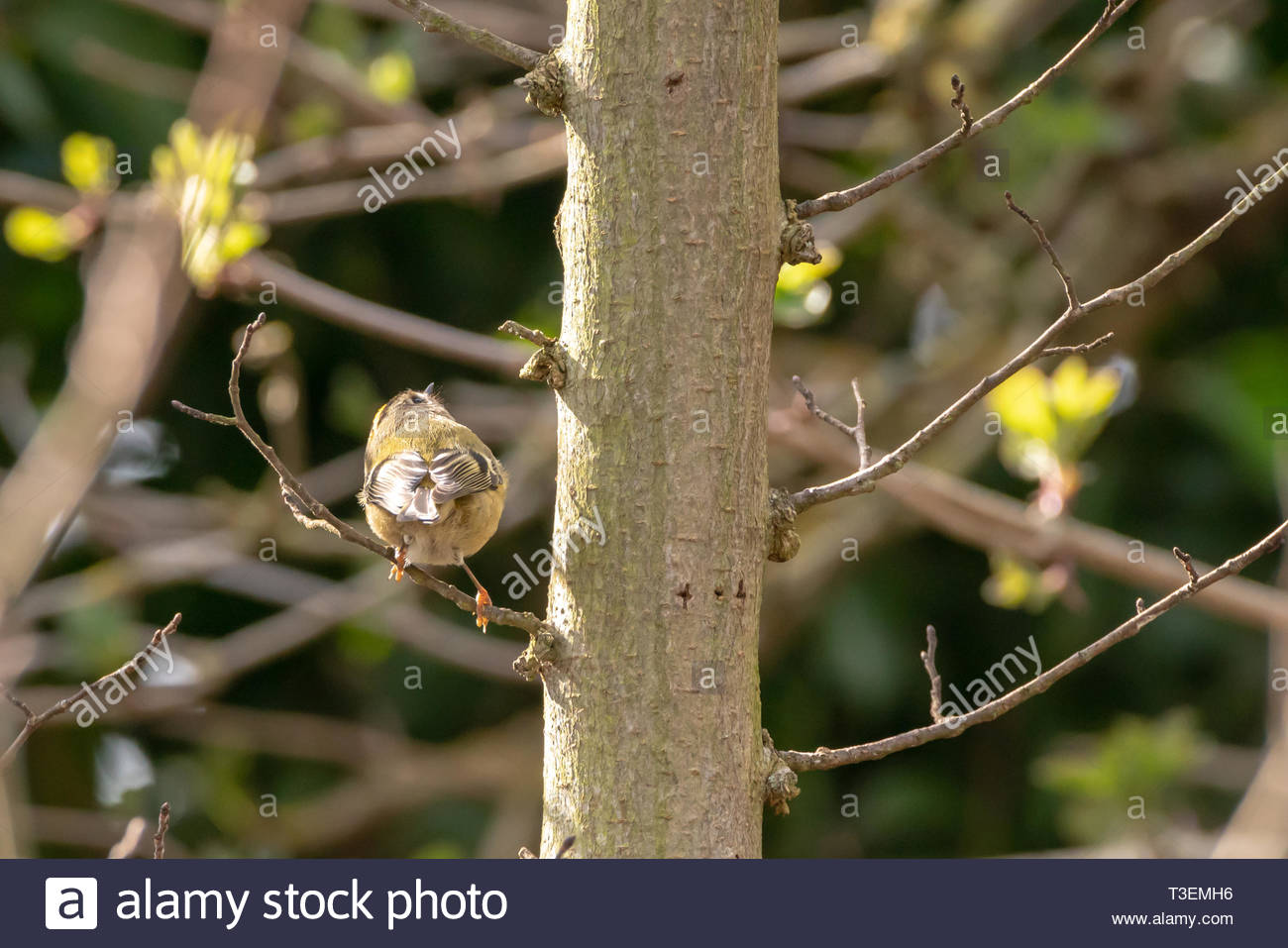 Goldcrest (Regulus regulus) sitting on a tree in West London, UK Stock Photo