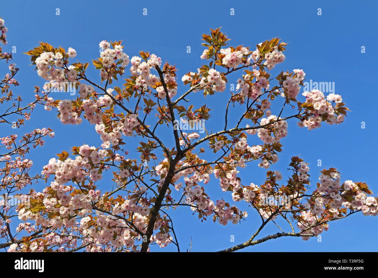 GoTonySmith,HotpixUK,@HotpixUK,Warrington,WBC,Cheshire,North West England,UK,tree,shrub,white,pink,flower,flowers,branch,branches,sunny,sunny day,Hatton,Norcott Brook,blue sky,Springtime,cherryblossom,artistic,closeup,natural,nature,outdoor,outside,garden,park,Cherry tree in full blossom,Cherry tree,full blossom,healthy,genus Prunus,flowering cherries,flowering cherry,springtime