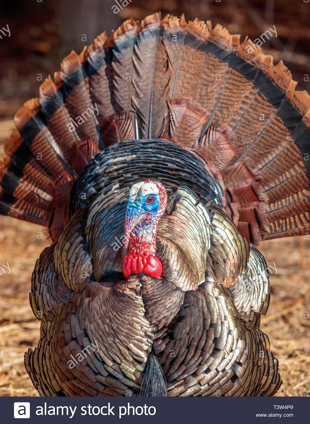 eastern-wild-turkey-meleagris-gallopavo-