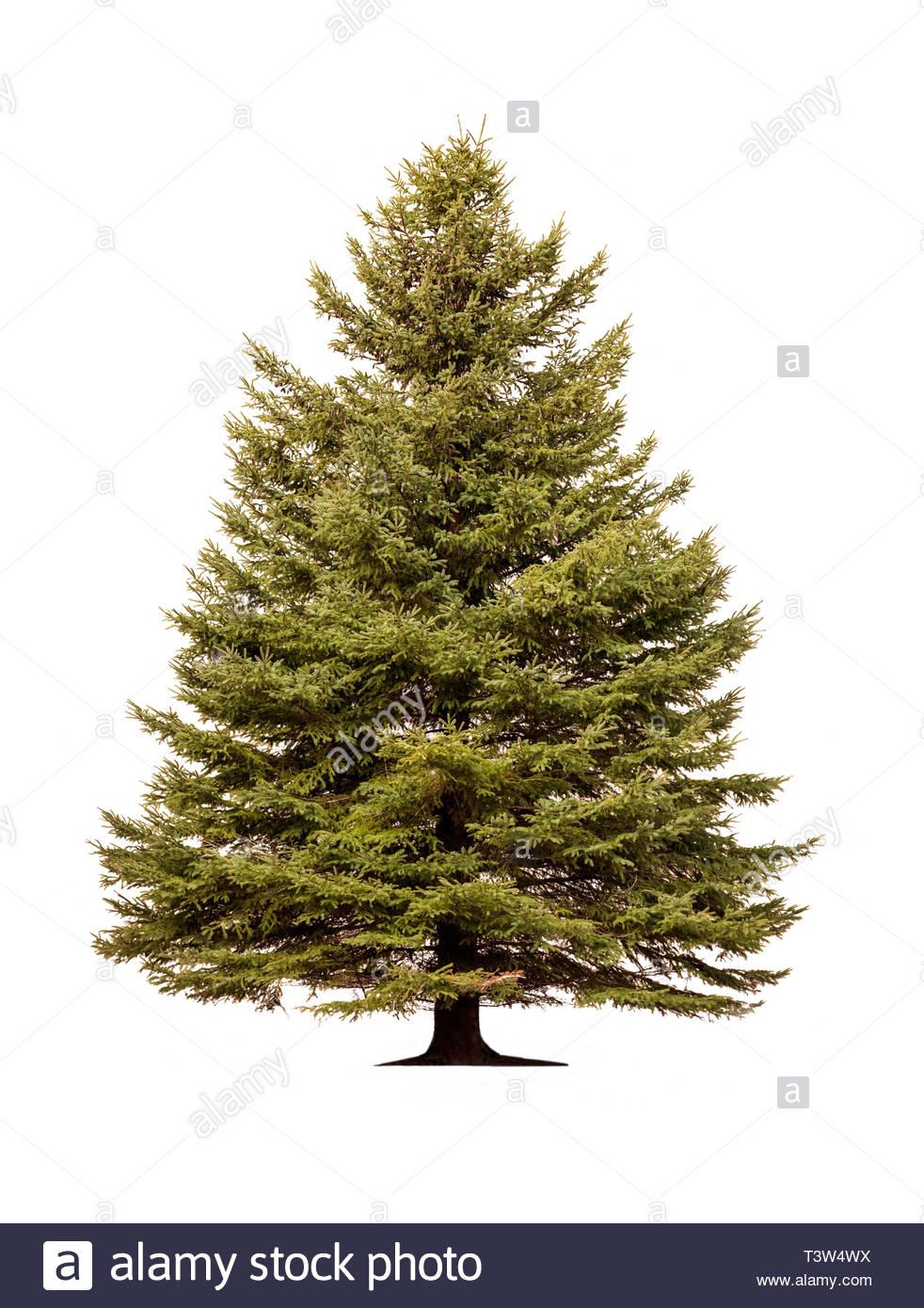 norway-spruce-picea-abies-european-spruc