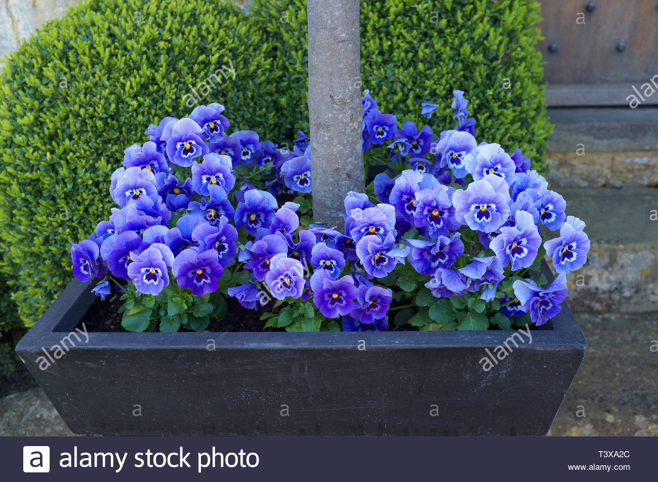 Violet flowers grow in a tree planter, in Broadway, Worcestershire, UK. Stock Photo