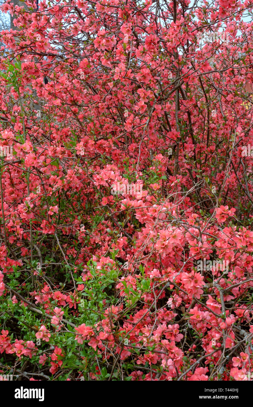 bright pink red blossom on a shrub chaenomeles japonica maule's quince or chaenomeles speciosa in a rural countryside village zala county hungary Stock Photo