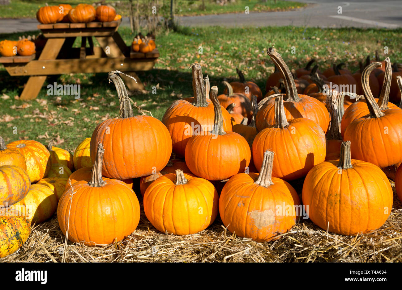 Display of colourful pumpkins at a farm stand in the Niagara Peninsula in the Autumn. Stock Photo