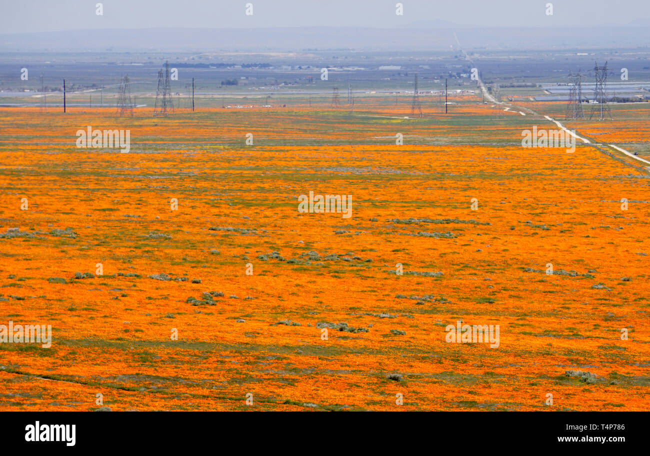 Orange Poppies.  Eschscholzia californica.  Super Bloom, Antelope Valley Poppy Preserve, California. Stock Photo