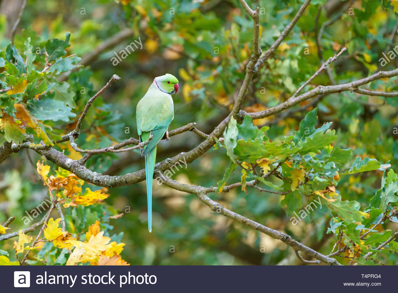 Ring-necked parakeet perched in a  tree in West London Stock Photo