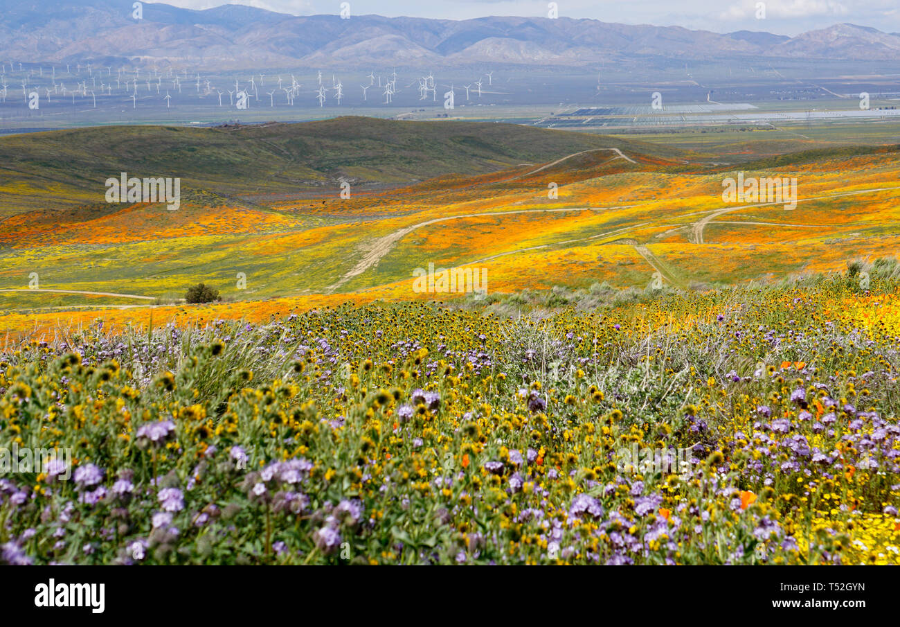 Orange Poppies.  Eschscholzia californica.  Yellow goldenfields.  Lasthenia californica.Super Bloom, Antelope Valley Poppy Reserve, California, USA. Stock Photo