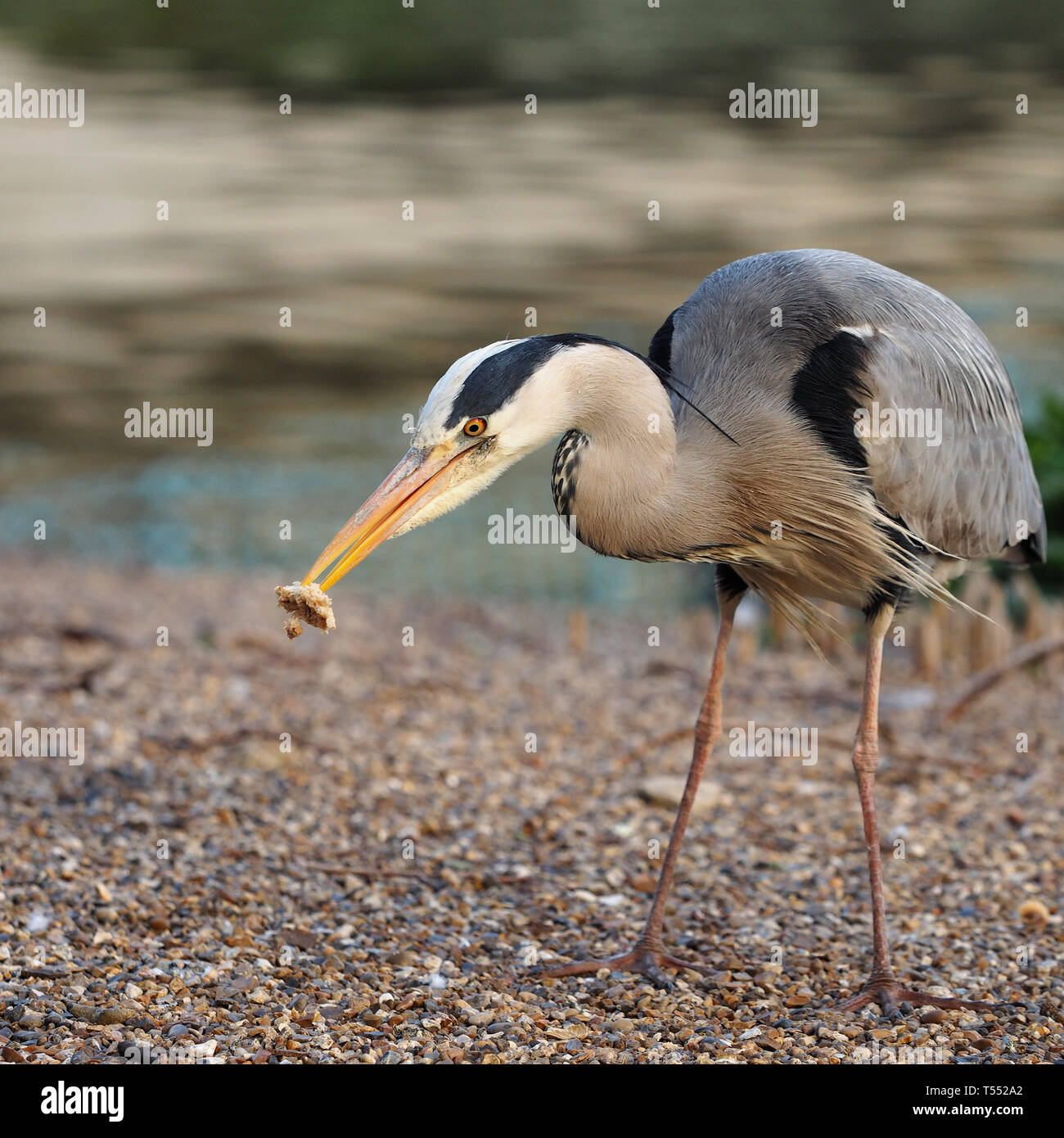 grey-heron-ardea-cinerea-feeding-on-discarded-sandwich-in-st-james-park-london-england-uk-T552A2.jpg
