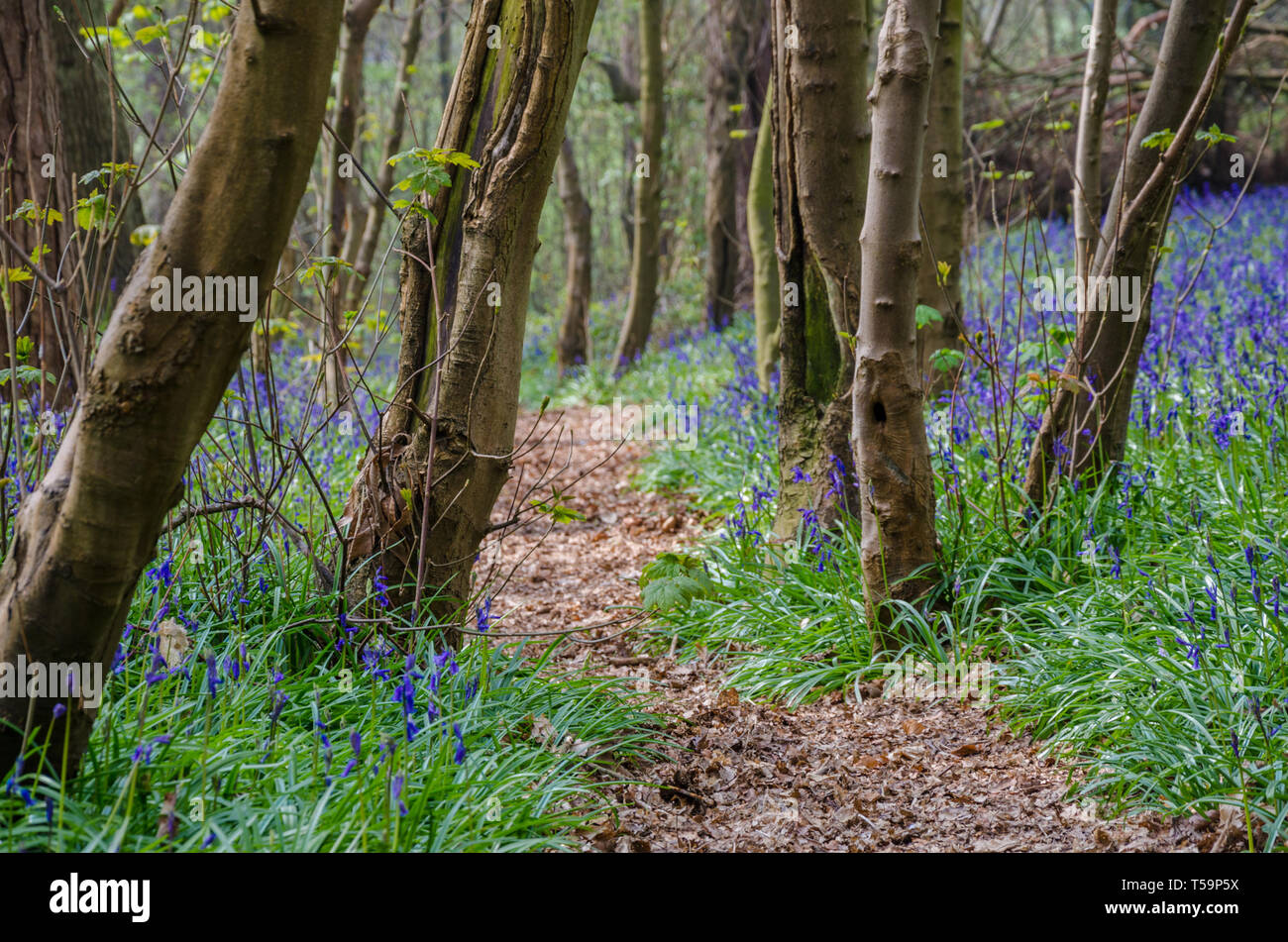 a-path-leading-through-bluebell-woods-in-the-shropshire-countryside-at-chemshill-coppice-near-the-village-or-worfield-in-shropshire-uk-T59P5X.jpg