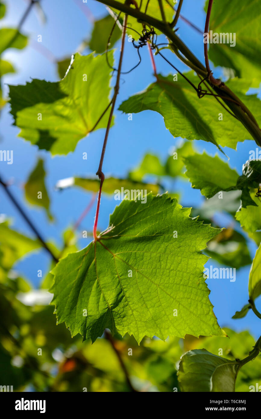 vine-leaves-against-a-blue-sky-T6C8MJ.jp