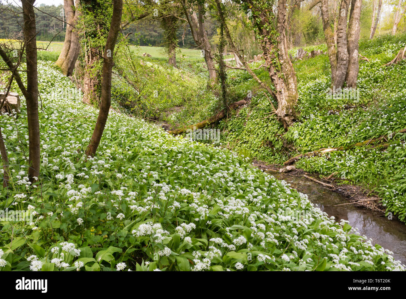 wild-garlic-also-called-ramsons-or-buckrams-allium-ursinum-wildflowers-in-hampshire-woodland-countryside-landscape-during-early-may-or-spring-T6T20K.jpg