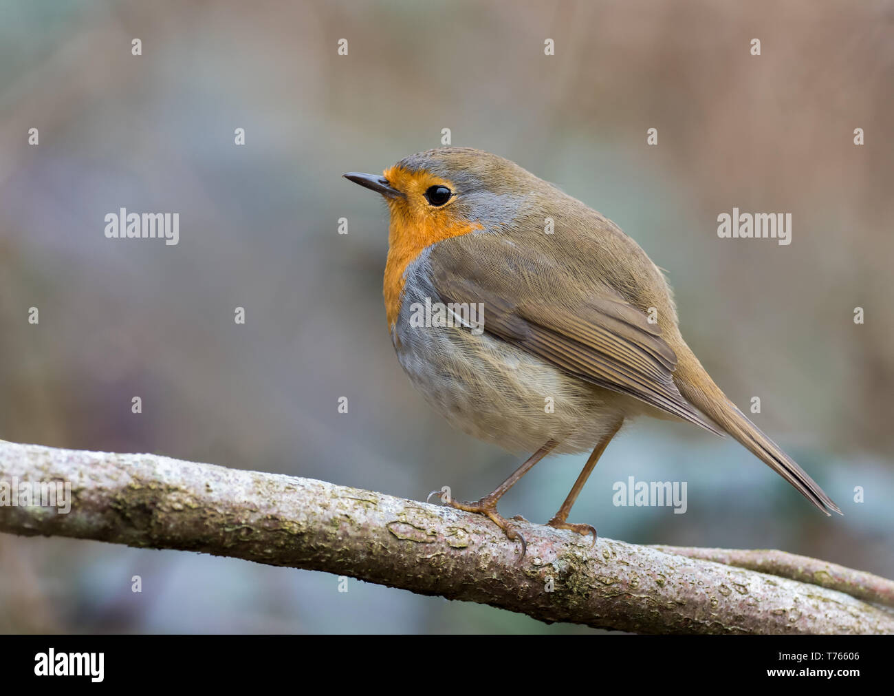 european-robin-bird-T76606.jpg